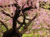 Cherry Tree in Bloom, Portland Japanese Garden, Portland, Oregon, USA Photographic Print by Michel Hersen