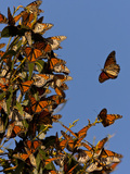 Monarch Butterflies, San Luis Obispo Country, California, USA Photographic Print by Cathy & Gordon Illg
