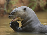 Giant River Otter, Pantanal, Brazil Photographic Print by Joe & Mary Ann McDonald