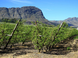 Vineyards of Franschoek, Cape Wine Lands, Western Cape, South Africa Photographic Print by Miva Stock