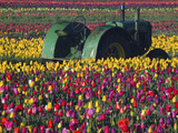 Tractor in the Tulip Field, Tulip Festival, Woodburn, Oregon, USA Photographic Print by Michel Hersen
