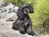 A Black Cockapoo Dog Sitting on Some Boulders Photographic Print by Zandria Muench Beraldo