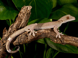 White Line (Skunk) Gecko, Gecko Vittatus, Native to Indonesia Photographic Print by David Northcott