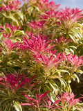 Pieris Forest Flame, England Photographic Print by Paul Thompson