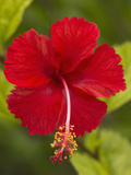 Red Hibiscus, Hibiscus Rosa-Sinensis, Belize Photographic Print by William Sutton