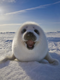 Harp Seal Pup on Ice, Iles De La Madeleine, Canada, Quebec Photographic Print by Keren Su