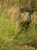 Indian Wild Boar, Madhya Pradesh, Kanha National Park, India Photographic Print by Joe & Mary Ann McDonald