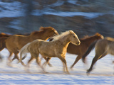 Horse Running, Shell, Wyoming, USA Photographic Print by Terry Eggers