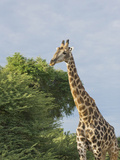 Masai Giraffe, Botswana Photographic Print by Jan & Stoney Edwards