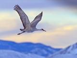 Sandhill Cranes, Bosque Del Apache National Wildlife Refuge, New Mexico, USA Photographic Print by Cathy & Gordon Illg