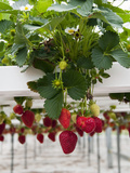 Hydroponic Strawberry Production, Marlborough, South Island, New Zealand Photographic Print by Lee Foster