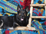 A German Shepherd Lying on a Southwestern Blanket, New Mexico, USA Photographic Print by Zandria Muench Beraldo