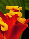 Eyelash Viper, Bothriechis Schlegeli, Native to Southern Mexico into Central America Photographic Print by David Northcott
