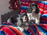 Two Cocker Spaniels Together on a Mexican Blanket, New Mexico, USA Photographic Print by Zandria Muench Beraldo