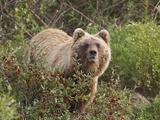 Grizzly Bear, Arctic National Park and Preserve, Alaska, USA Photographic Print by Hugh Rose