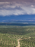 Olive Groves, Ubeda, Spain Photographic Print by Walter Bibikow