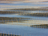 Bamboo Sticks in the Seaweed Farm at Sunrise, East China Sea, Xiapu, Fujian, China Photographic Print by Keren Su