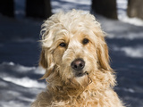 Portrait of a Goldendoodle Sitting in the Snow, New Mexico, USA Photographic Print by Zandria Muench Beraldo