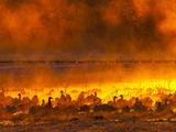Snow Geese, Bosque Del Apache National Wildlife Refuge, New Mexico, USA Photographic Print by Cathy & Gordon Illg