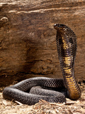Pakistani Black Cobra, Naja Naja Karachiensis, Native to Pakistan and Surrounding Areas Photographic Print by David Northcott