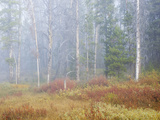 Foggy Autumn Morning, Challis National Forest, Sawtooth National Recreation Area, Idaho, USA Photographic Print by Jamie & Judy Wild