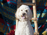 Goldendoodle Sitting on Southwestern Blanket with Wooden Ladder and Red Chilies, New Mexico, USA Photographic Print by Zandria Muench Beraldo