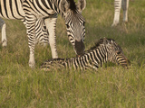 Newborn Zebra, Botswana Photographic Print by Jan & Stoney Edwards