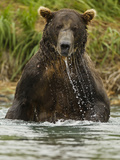 Brown Bear, Katmai National Park, Alaska, USA Photographic Print by Joe & Mary Ann McDonald