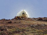 Polar Bear, Liefdefjorden Fiord, Norway Photographic Print by Alice Garland