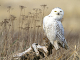 A Snowy Owl (Bubo Scandiacus) Sits on a Perch at Sunset, Damon Point, Ocean Shores, Washington, USA Photographic Print by Gary Luhm