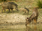 Sambar, Madhya Pradesh, Kanha National Park, India Photographic Print by Joe & Mary Ann McDonald