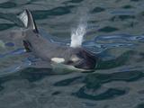 Orca, Frederick Sound, Alaska, USA Photographic Print by Joe & Mary Ann McDonald
