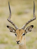 Male Impala, Botswana Photographic Print by Jan & Stoney Edwards