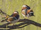 Mandarin Duck, Beijing, China Photographic Print by Alice Garland