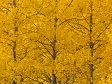 Aspens, Castle Valley, Colorado, USA Photographic Print by Cathy & Gordon Illg