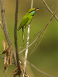 Green Bee-Eater, Madhya Pradesh, Kanha National Park, India Photographic Print by Joe & Mary Ann McDonald