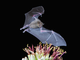 Leafnosed Fruit Bat, Arizona, USA Photographic Print by Alice Garland