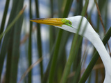 Great Egret Hunting in Soft Stem Bulrush, Ardea Alba, Viera Wetlands, Florida, USA Photographic Print by Maresa Pryor