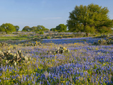 Bluebonnets and Oak Tree, Hill Country, Texas, USA Photographic Print by Alice Garland