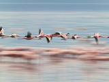 Lesser Flamingoes (Phoenicopterus Minor), Lake Nakuru, Kenya Fotodruck von Keren Su