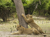 Lionesses, Botswana Photographic Print by Jan & Stoney Edwards