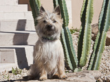 A White Cairn Terrier Sitting Next to a Cactus Photographic Print by Zandria Muench Beraldo