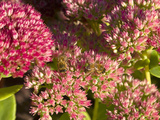 Honey Bee Feeding on Sedum Spectabile Plant, England Photographic Print by Paul Thompson