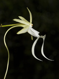Ghost Orchid in Bloom, Polyrrhiza Lindenii, Florida, USA Photographic Print by Maresa Pryor