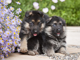 Two German Shepherd Puppies Sitting Next to Purple Daisies on a Garden Pathway, New Mexico, USA Photographic Print by Zandria Muench Beraldo