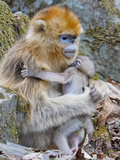 Female Golden Monkey, Qinling Mountains, China Photographic Print by Alice Garland