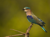 Indian Roller, Bandhavgarh National Park, India Papier Photo par Joe & Mary Ann McDonald