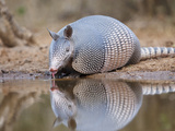 Nine-Banded Armadillo, Texas, USA Photographic Print by Larry Ditto