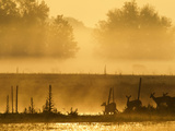 White-Tailed Deer Crossing Water Along Fence Line at Sunrise, Central Florida, USA Photographic Print by Maresa Pryor
