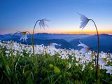 Avalanche Lilies (Erythronium Montanum) at Sunset, Olympic Nat'l Park, Washington, USA Photographie par Gary Luhm